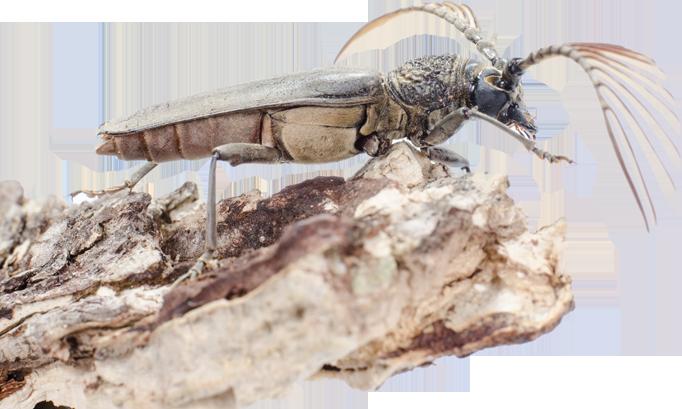 Traitement des bois et isolation de combles sur l idf for Insecte attaquant le bois
