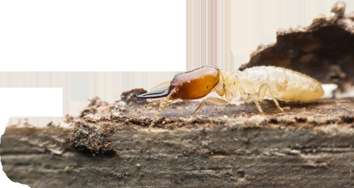 termite-insecte-bois